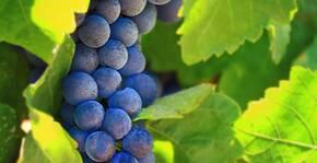Une grappe de raisin des vignes du Château de Pennautier