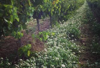 Jolie vue entre les vignes du Château Barbebelle