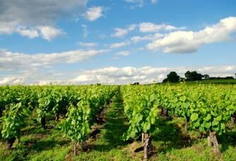 Vue sur le vignoble du Domaine de la Grenaudière