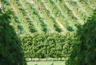 Vue sur le vignoble du Château Lavenceau