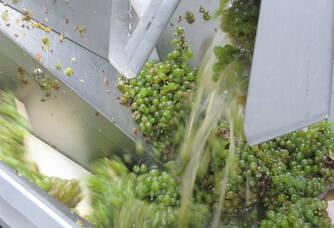 Travail sur le raisin au Domaine de la Paleine