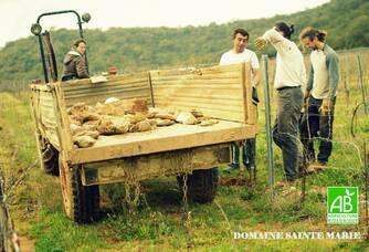 En plein travail dans les vignes du Domaine Sainte Marie
