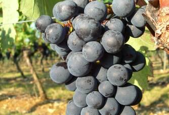 Une grappe de raisin au domaine des Roques de Cana