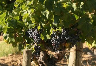 Pieds de vigne du Mas de la Dame