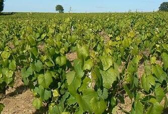 Les vignes du Domaine du Champ Chapron