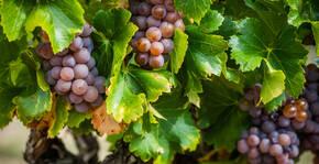 Les raisins du Domaine de la Dourbie