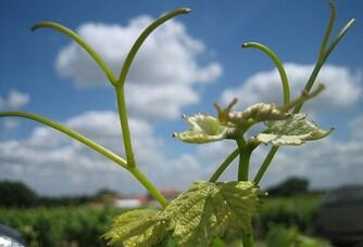 Fleur de vigne du Jardin d'Edouard