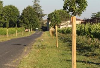 Allée de chênes au Domaine Rotier