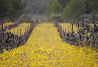 Le vignoble en fleurs du Chai d'Emilien