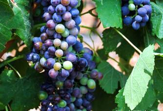 Les beaux raisins du Chai d'Emilien