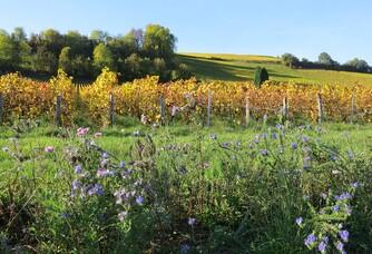 Jachères Fleuries par nos soins au pieds de nos vignes