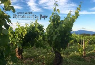 Vignobles Mayard - Un pied de vigne