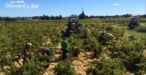 Vignobles Mayard - Les vendanges