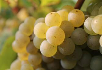 Le Melon de Bourgogne du Domaine Bonnet-Huteau