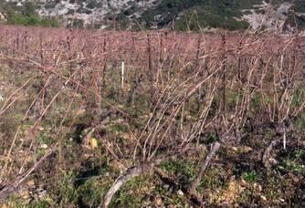 Les vignes en hiver du  Domaine les Gentillières