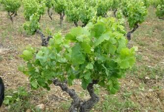 Le vignoble du Domaine les Gentillières