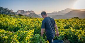 Le vignoble d'Ouréa avec vue sur les dentelles de Montmirail