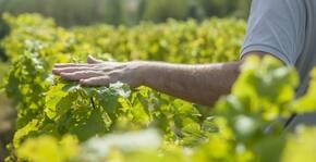 la main du vigneron caresse la vigne
