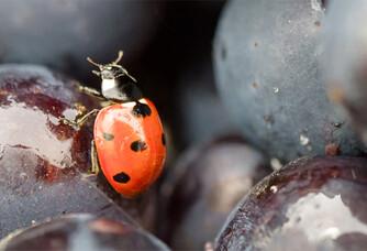 Domaine Annie Sauvat - Une coccinelle dans la vigne