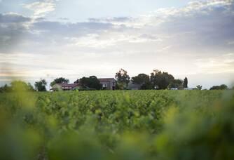 Mas Alart - Le vignoble à l'aube