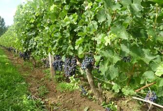 Clos Monicord - Les rangs de vigne