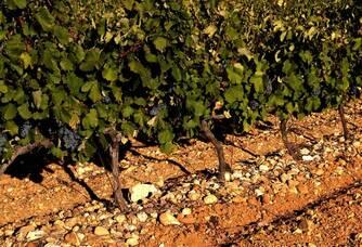 Château Corneilla del Vercol - Un pied de vigne
