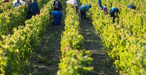 Domaine Mérieau - Le vignoble pendant les vendanges