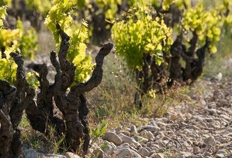 Domaine Rouge-Bleu - Les pieds de vigne