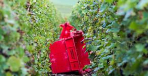 Champagne de Barfontarc - Les vignes pendant les vendanges