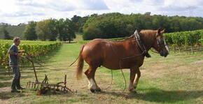Le cheval dans les vignes du Château Lauduc