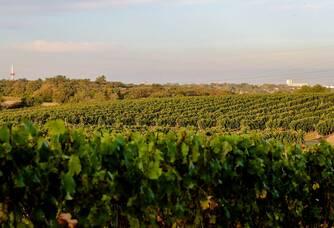Les vignes du Château Lauduc