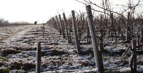 Les vignes de Gadet-Terrefort en hiver