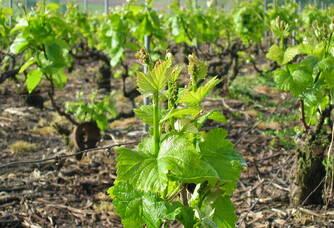 Les vignes du domaine du Champagne Trichet