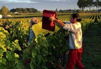 Belle vue entre les vignes pendant les vendanges du Château Marjosse
