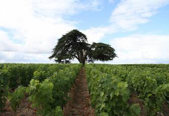 Les vignes du Château La Tour de By