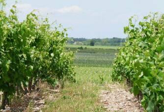 Les vignes du Château Meylan en été