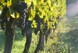 Les vignes du château Boutinet