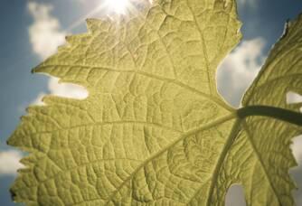 Une feuille de vigne du Château Ferran