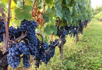 Une rangée de vignes du vignoble Haut-Goujon