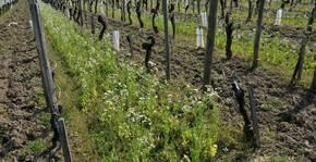 Le vignoble du Château Haut-Goujon