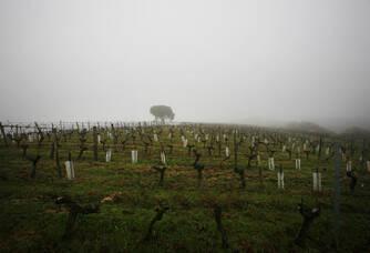 Les vignes de Sainte-Marie sous la brume