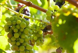 Une grappes des vignes du Domaine des Maravilhas