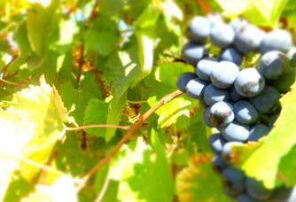 Une grappe de syrah des vignes Rozel