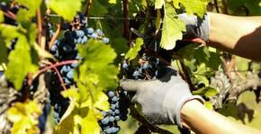 Suite des vendanges aux vignobles Bardet